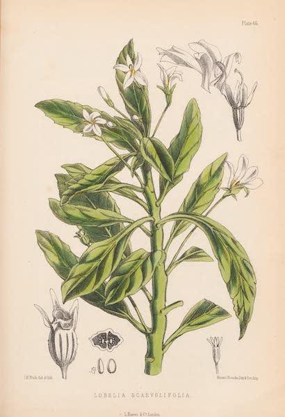 St. Helena: A Description of the Island - Lobelia Scaevolifolia (1875)