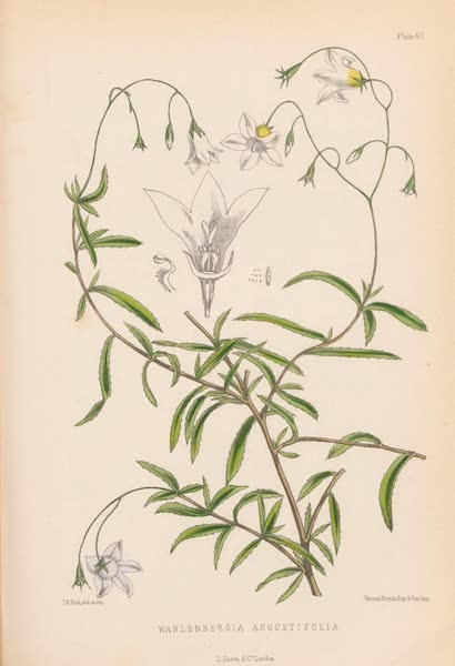 St. Helena: A Description of the Island - Wahlenbergia Angustifolia (1875)