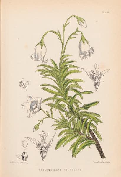 St. Helena: A Description of the Island - Wahlenbergia Linifolia (1875)