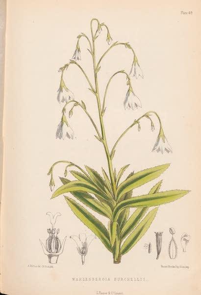 St. Helena: A Description of the Island - Wahlenbergia Burchellii (1875)