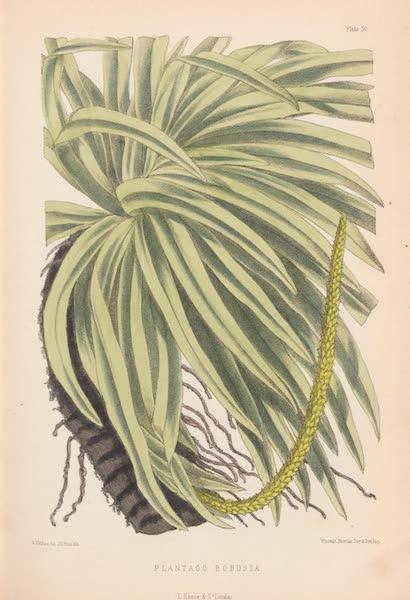 St. Helena: A Description of the Island - Plantago Robusta (1875)