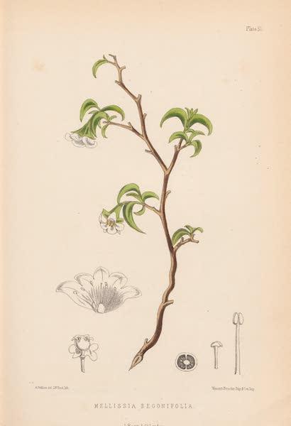 St. Helena: A Description of the Island - Mellissia Begonifolia (1875)