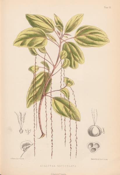 St. Helena: A Description of the Island - Acalypha Reticulata (1875)