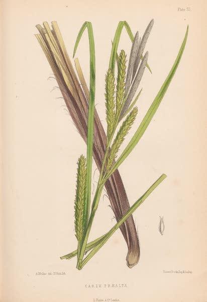 St. Helena: A Description of the Island - Carex Præalta (1875)