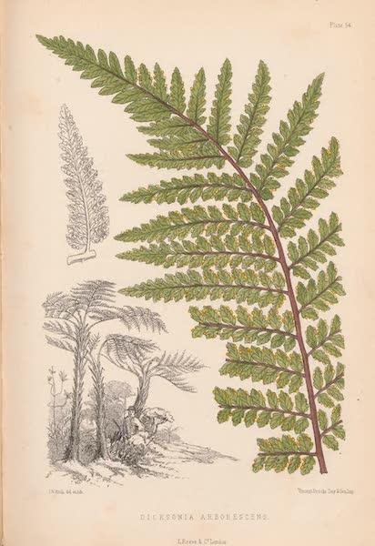 St. Helena: A Description of the Island - Dicksonia Arborescens (1875)