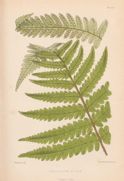 St. Helena: A Description of the Island - Polypodium Dianæ (1875)