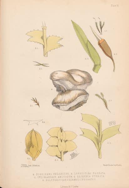 St. Helena: A Description of the Island - Plate 56 - Plants (1875)