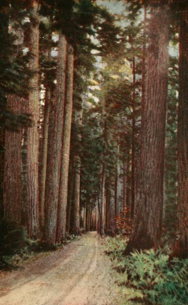 Sunset Canada, British Columbia and Beyond - Douglas Fir, on Island Highway (1918)