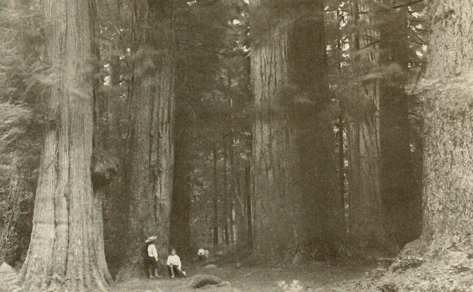 Sunset Canada, British Columbia and Beyond - Big Trees in Stanley Park, Vancouver (1918)