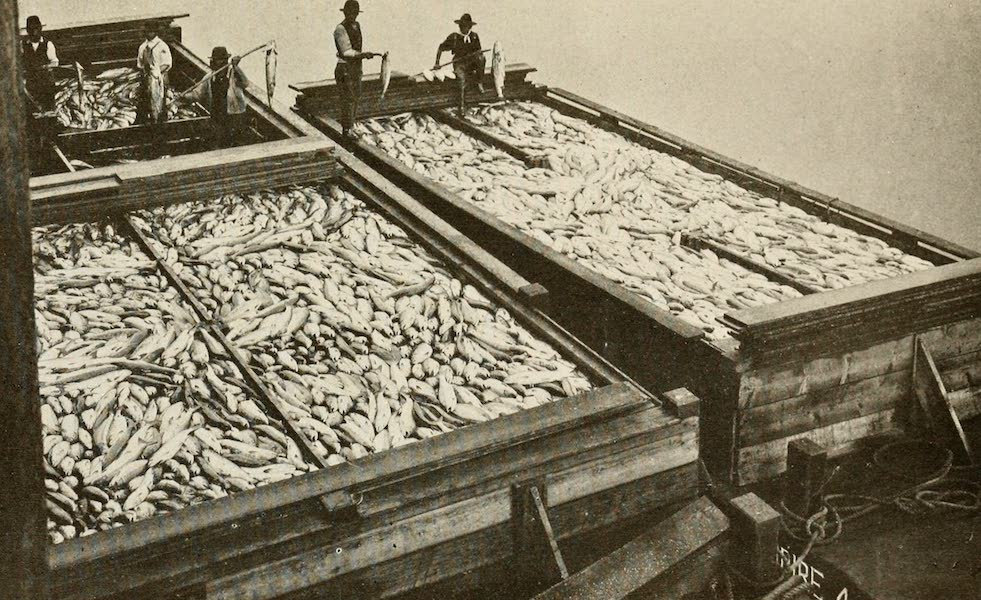 Sunset Canada, British Columbia and Beyond - Barges loaded with Salmon at Steveston (1918)