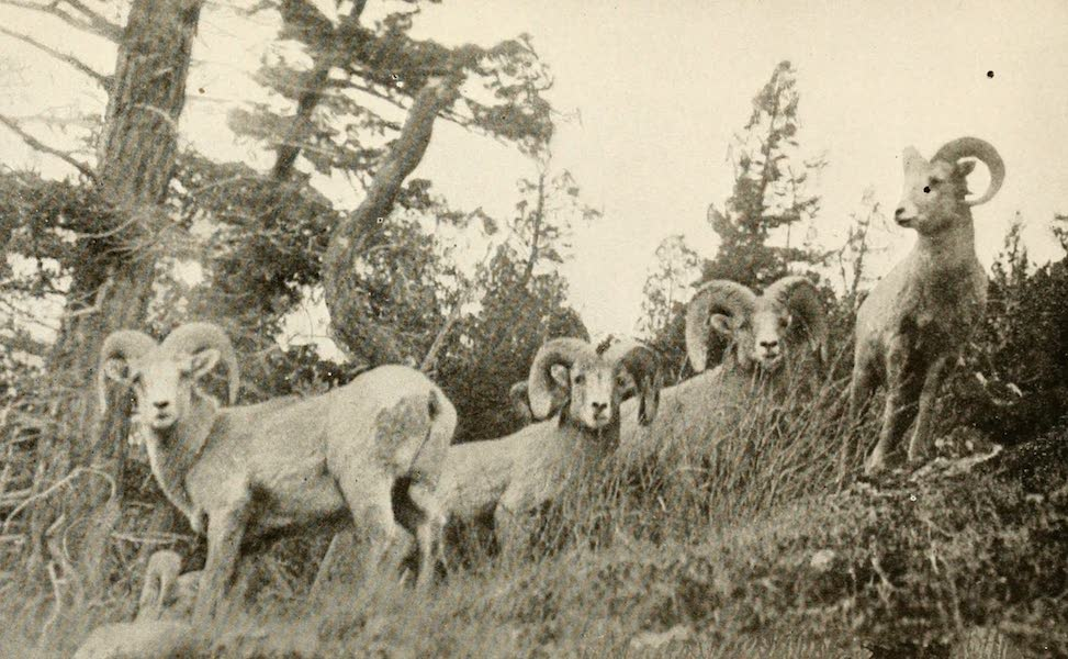 Sunset Canada, British Columbia and Beyond - Big Horn Rocky Mountain Sheep (1918)