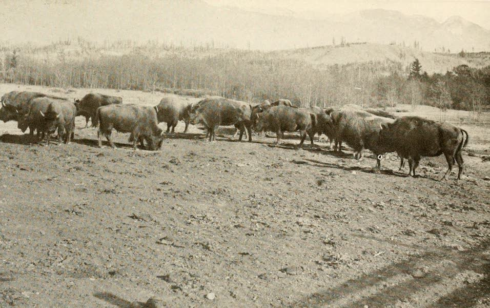 Sunset Canada, British Columbia and Beyond - Herd of Buffalo at Banff (1918)