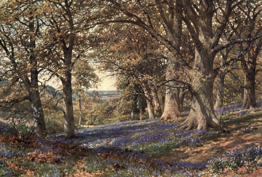 Surrey Painted and Described - A Slope of Bluebells, Hascombe (1906)