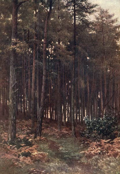 Surrey Painted and Described - The Depths of a Fir Wood, Ripley (1906)