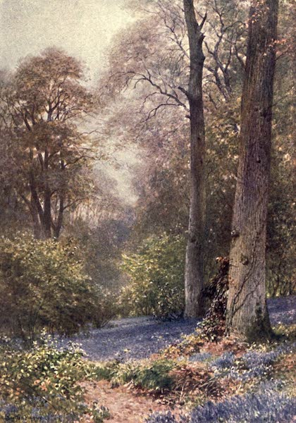 Surrey Painted and Described - Bluebells, Ripley (1906)