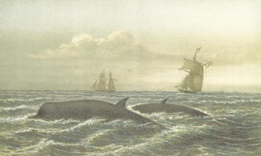 Svenska expeditionen till Spetsbergen - Nabbhvalar (1865)