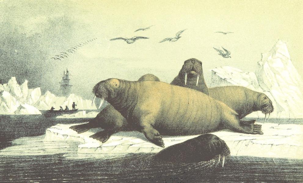 Svenska expeditionen till Spetsbergen - Hvalrossar (1865)