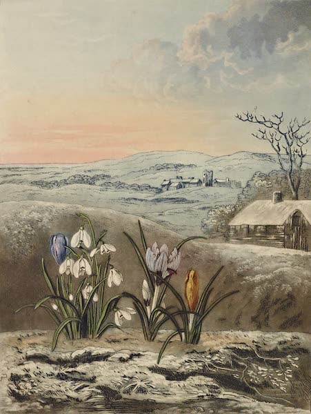 Temple of Flora - The Snowdrop (1812)