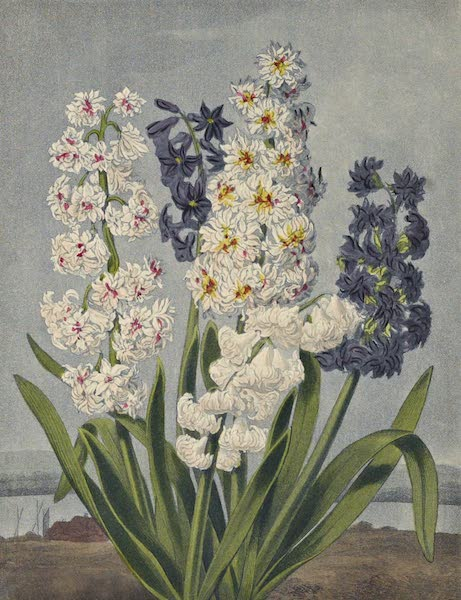 Temple of Flora - A Group of Hyacinths (1812)