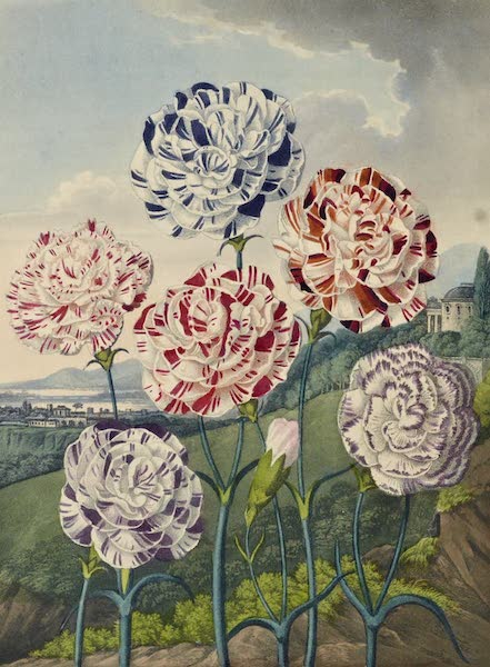 Temple of Flora - Group of Carnations (1812)