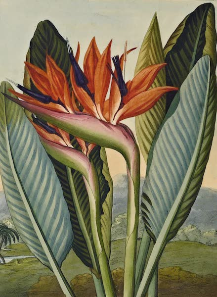 Temple of Flora - The Queen Flower (1812)