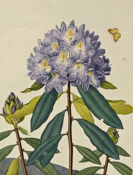 Temple of Flora - The Pontic Rhododendron (1812)