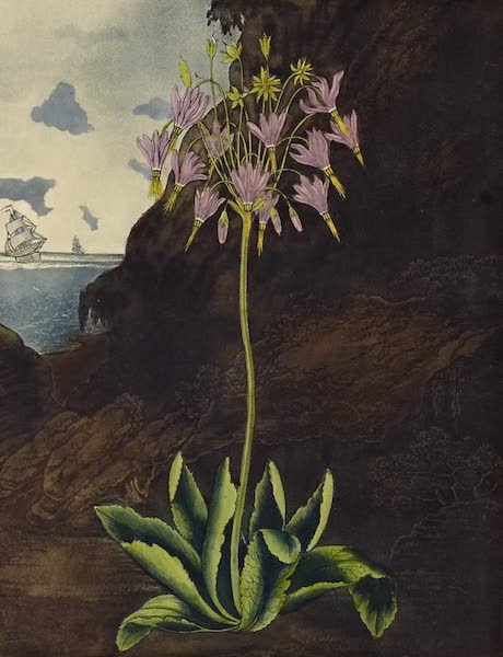 Temple of Flora - American Cowslip (1812)