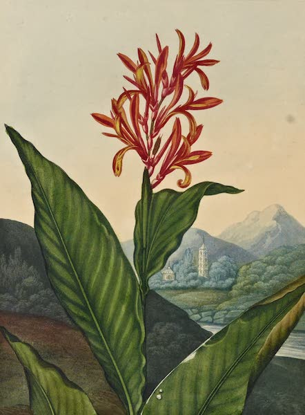Temple of Flora - The Indian Reed (1812)