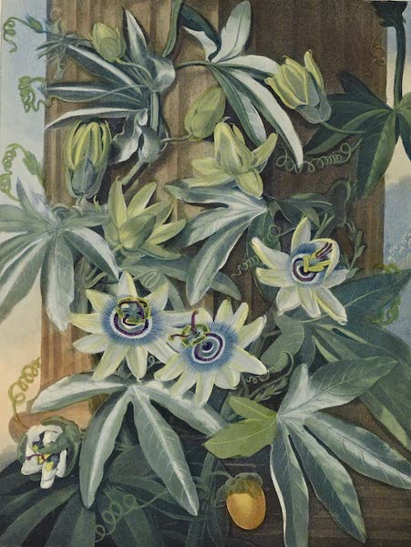 Temple of Flora - The Blue Passion Flower (1812)