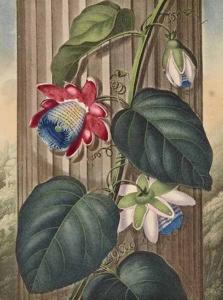Temple of Flora - The Winged Passion Flower (1812)