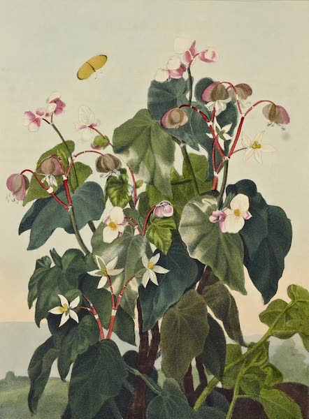 Temple of Flora - The Oblique Leaved Begonia (1812)