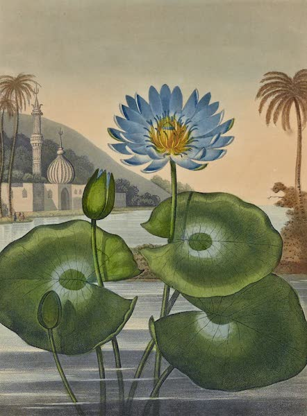 Temple of Flora - The blue Egyptian Water Lily (1812)