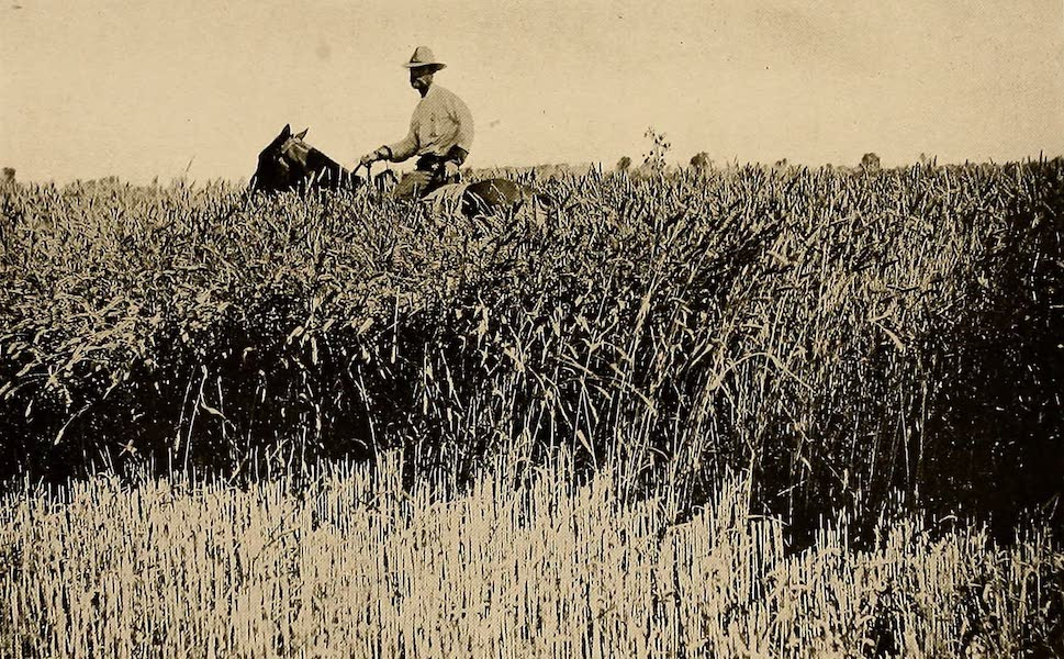 Texas, the Marvellous, the State of the Six Flags - Rice Ready for Harvesting (1916)