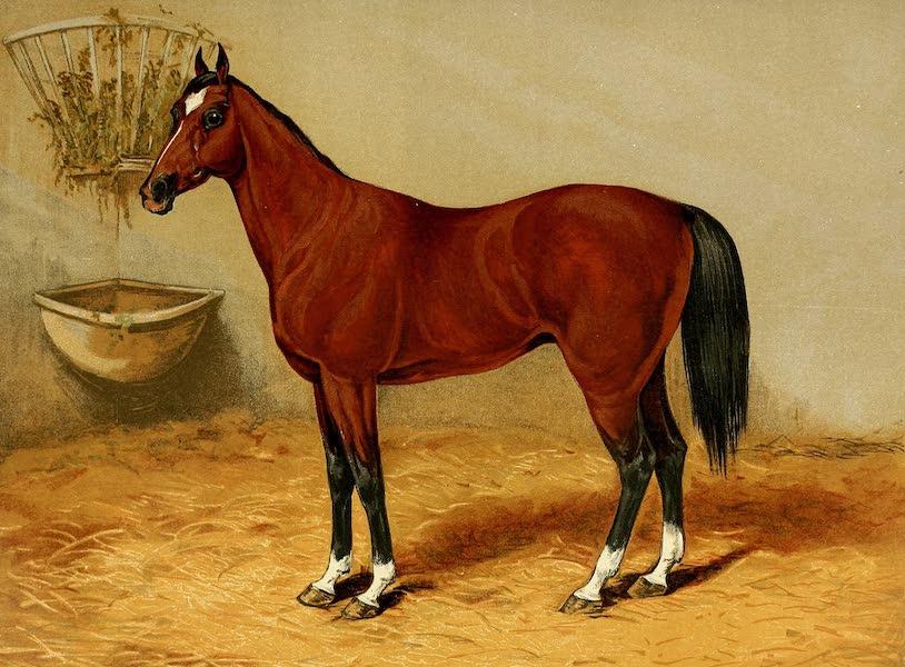 Rex (Arabian Pony)