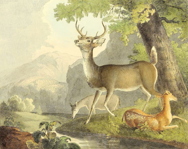 The Cabinet of Natural History & American Rural Sports Vol. 1 - Common Deer (1830)
