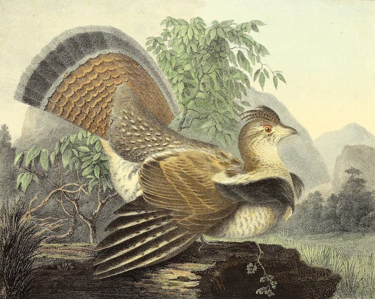 The Cabinet of Natural History & American Rural Sports Vol. 1 - Ruffed Grouse or Pheasant (1830)