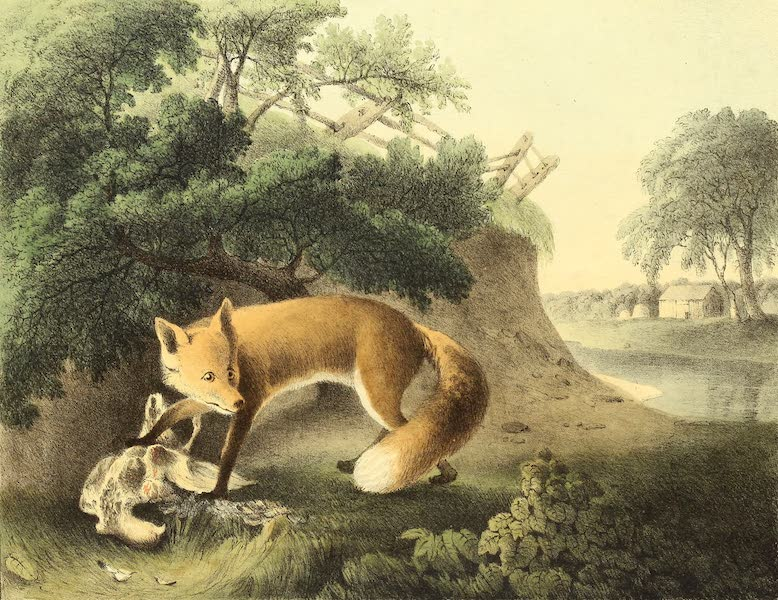 The Cabinet of Natural History & American Rural Sports Vol. 1 - Red Fox (1830)