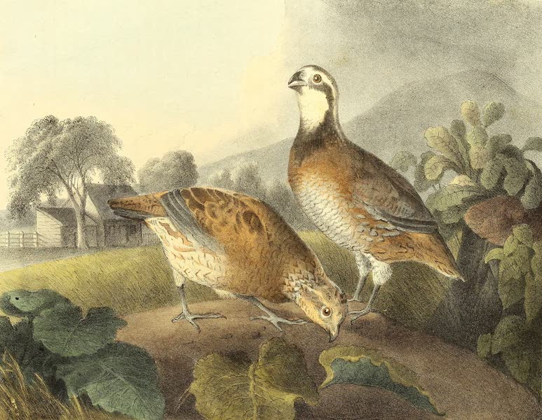 The Cabinet of Natural History & American Rural Sports Vol. 1 - Quals or Partridges (1830)