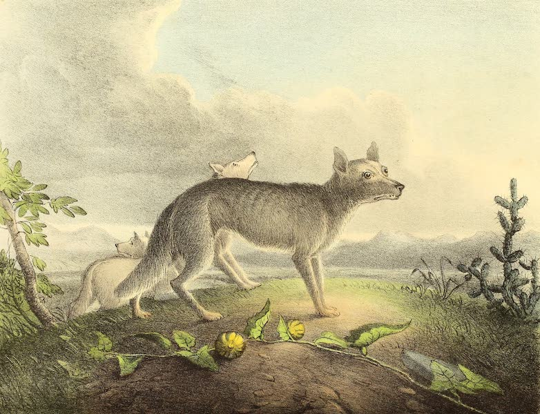 The Cabinet of Natural History & American Rural Sports Vol. 1 - Prairie Wolves (1830)