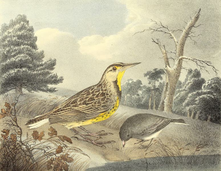 The Cabinet of Natural History & American Rural Sports Vol. 1 - Meadow-Lark and Snow Bird (1830)