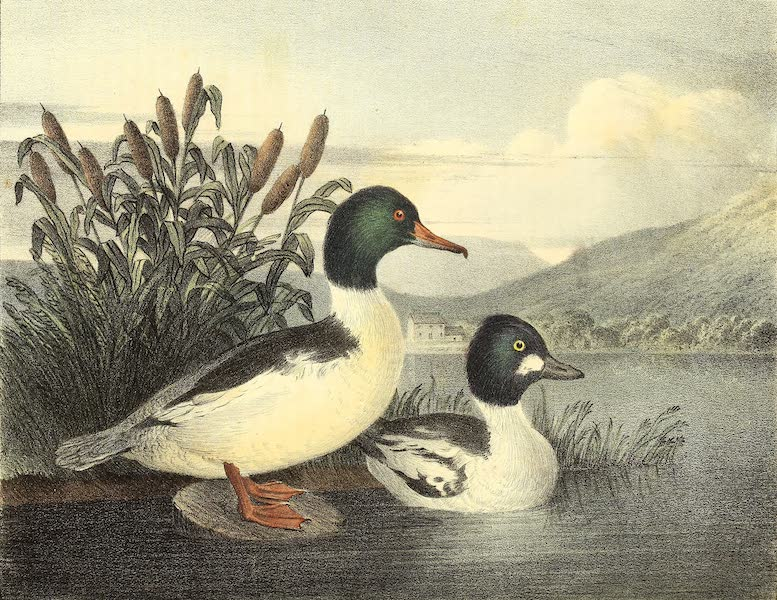 The Cabinet of Natural History & American Rural Sports Vol. 1 - Goosander and Golden Eye (1830)