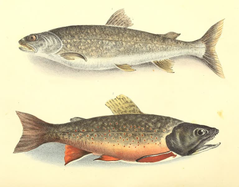 The Cabinet of Natural History & American Rural Sports Vol. 1 - Trout of Silver Lake and Male Brook Trout (1830)