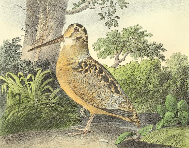 The Cabinet of Natural History & American Rural Sports Vol. 1 - Woodcock (1830)
