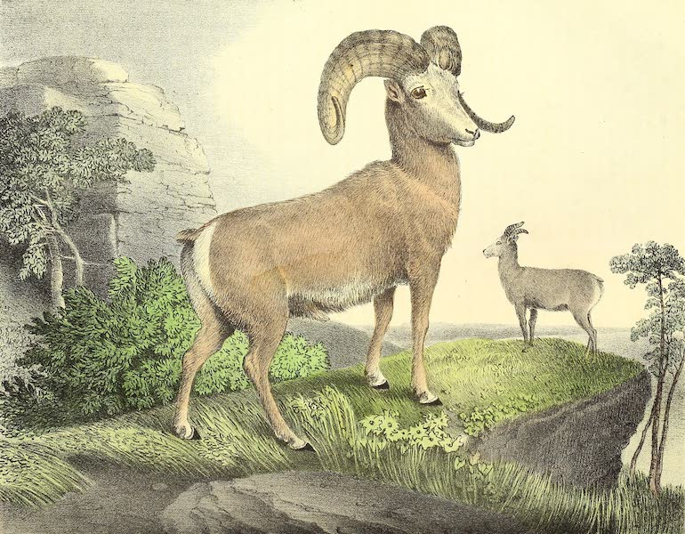 The Cabinet of Natural History & American Rural Sports Vol. 1 - Argali (1830)
