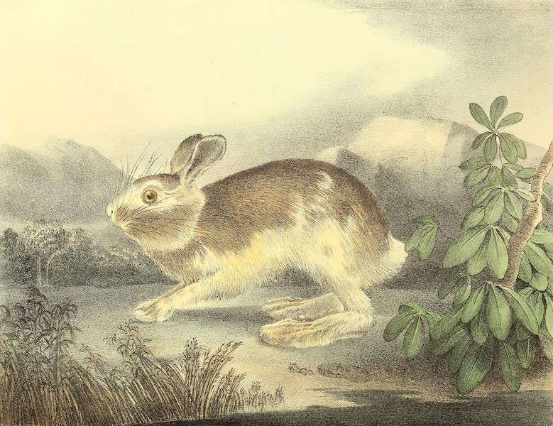 The Cabinet of Natural History & American Rural Sports Vol. 1 - Varying Hare (1830)