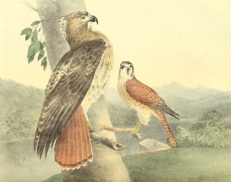 The Cabinet of Natural History & American Rural Sports Vol. 1 - Red-Tailed Hawk and American Sparrow Hawk (1830)