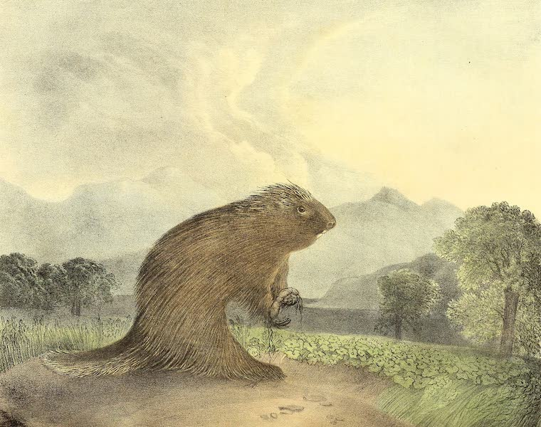 The Cabinet of Natural History & American Rural Sports Vol. 1 - America Porcupine (1830)