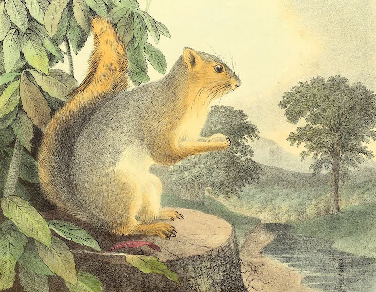 The Cabinet of Natural History & American Rural Sports Vol. 1 - Great-Tailed Squirrel (1830)
