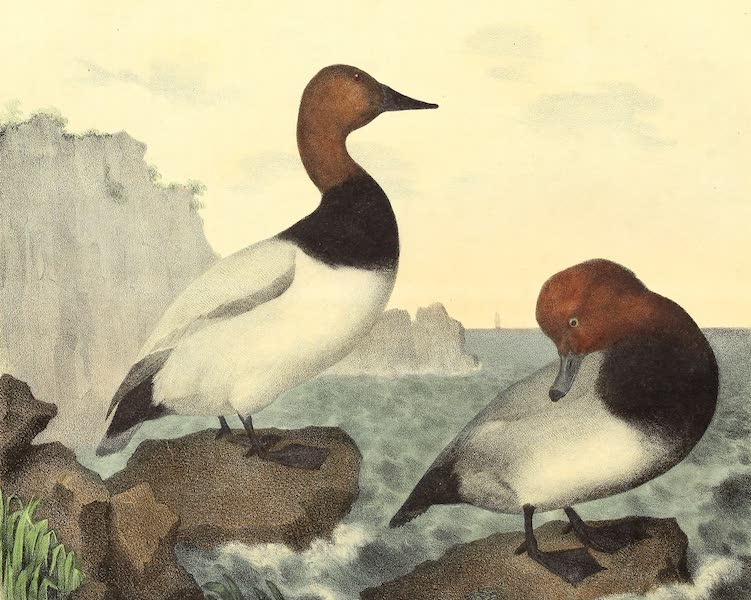 The Cabinet of Natural History & American Rural Sports Vol. 2 - Canvas-Back Duck and Red-Headed Duck (1832)