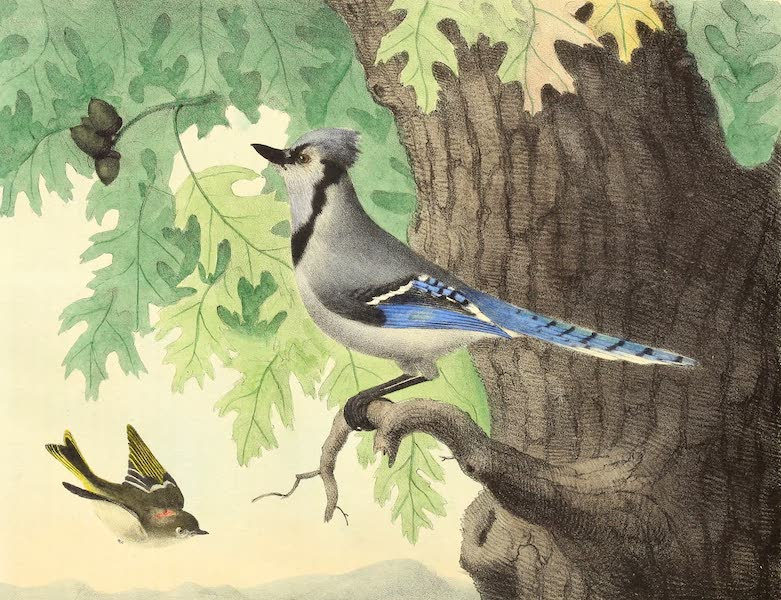 The Cabinet of Natural History & American Rural Sports Vol. 2 - Ruby-Crowned Wren and Blue Jay (1832)